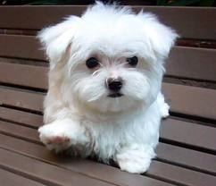 It's a Maltese.