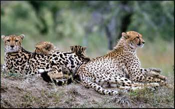 Cheetahs. Without a doubt. I especially l'amour King Cheetahs. I also l'amour chiens (particularly Greyhounds and Pit Bulls) , Cows and Emperor Penguins. Pic of Cheetahs. Normal Cheetah on right, King Cheetah on left.
