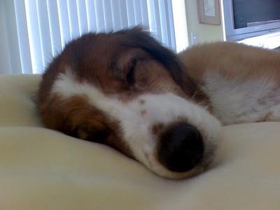I LURRRVVVVV Beagles but I have a beagle-cocker спаниель mix <3 (His name is Franklin Patrick Blackshear, Frank for short.)
