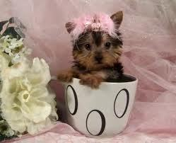 yorkie dog its also my user ikon