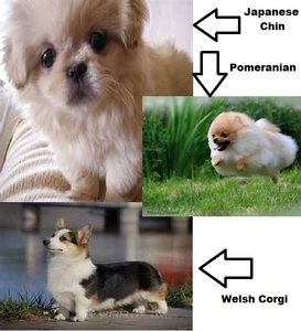 Well I Liebe animals, but I want only 2-3 dogs, probably too much to handle though but all well! I want a Pomeranian, a Welsh Corgi, and a Japanese Chin!