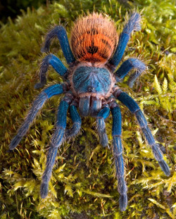 Cheering up Hu? If cheering up is what आप want, here's a pic of a chromatopelma cyaneopubescens tarantula. Isn't it beautiful? :D