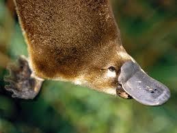 Platypus~