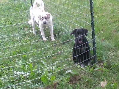 "This is Ashley (the black dog) and Hannah ""Solo"" (the white one). Hannah has a brother named Hankbacca."
