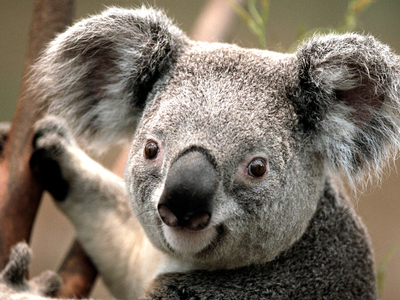 Koala's are EXTREMELY vicious creatures. LOOK AT THEIR BEADY LITTLE EYES