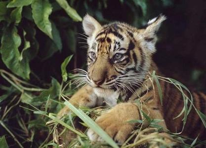 A tiger cub called menchie! :D