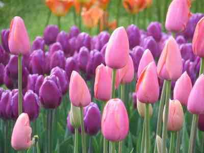 Tulips in two of my preferito colori rosa and purple. :)