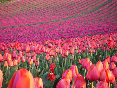 I absolutely love tulips. <3