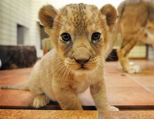 bạn mean [i]post the best pic bạn have?[/i] Well here's mine. A cute little lion cub!! [b]<33333[/b]