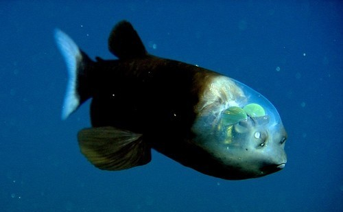 Barreleye poisson the two green spheres toi see are actually the Barreleye Fish's eyes they can direct their eyes vers l'avant, vers l'avant to include their mouth in their eyesight.