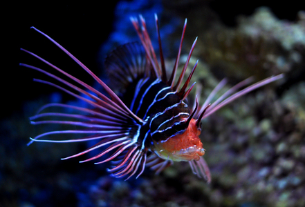 The lionfish. it's one of the most deadly poisson uwu