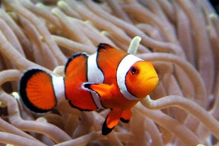 Clown poisson are my favorite. I think they are beautiful fish. <33
