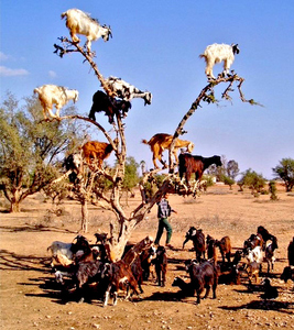 in morocco goats climb argan trees to consume delicious berries which are similar to the olives blah blah blah ... pic~