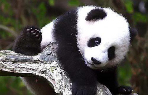 Panda Panda Panda Panda PANDA‼‼♥♥^-^