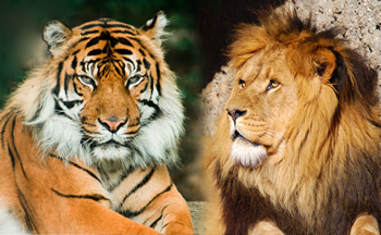 Lions, plus tigres are my fav!! :)