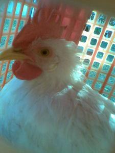 I GOT 4 CHICKS pinksty yellow baai, bay white house sahara luv them♥
