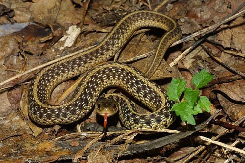 Not of the Garter Snakes in Michigan. Only the ones that are deadly, which fortunately are not native to this state. Garter Snake pic: