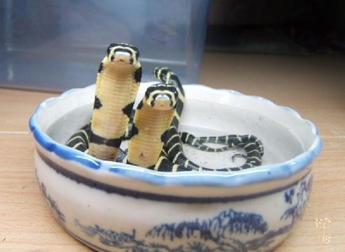 Two baby cobras in a bowl