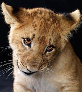 Adorable lion cub <33333