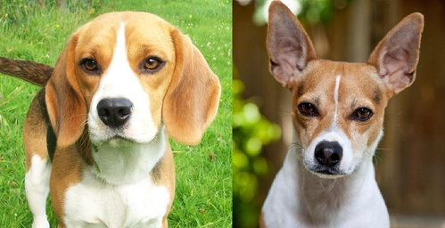 Beagles and ইঁদুর Terriers.