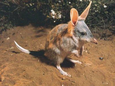 Bandicoots, the most underrated animal in the world!