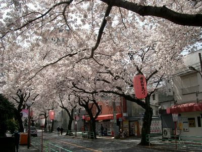ceri, cherry blossom trees. (:
