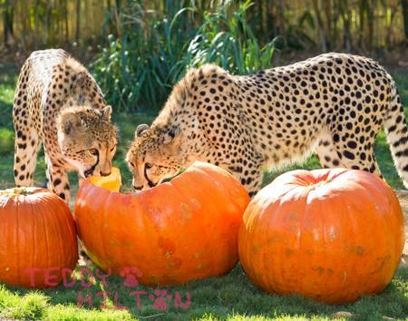 Trick oder treat cheetah style<3