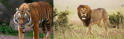 I amor all animales but lions and tigres are my first two favorites.