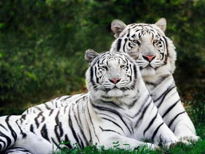 a white tiger :)