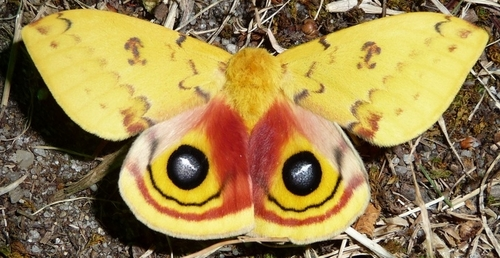 Moths are actually interesting. Especially sense they are related to butterflies. Not only that, but I like them cause they are living creatures and I amor all living creatures.