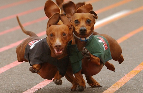 dachshunds 或者 better known as Wiener Dogs! X3