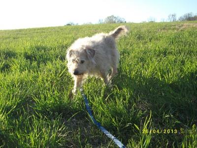 梗, 梗犬, 小猎犬 mix. My dog, Hank likes to explore at the dog park.