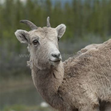 My name means female sheep. lol not as awesome as some other names but who's to complain?