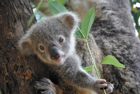 Baby Koalas eat their Mother's feces.