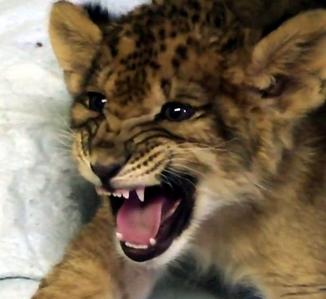 Adorable roaring lion cub <33333