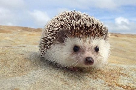 I really, really would 爱情 to have a pet hedgehog :)
