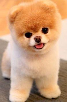 The 포메 라니아 인, 포메라니안의, 포 Dog. So cute!