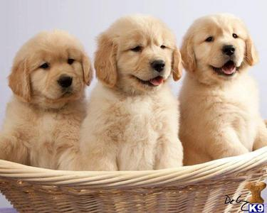 golden retrievers.I don't have one,but I want one.They are not only cute,but also friendly,
