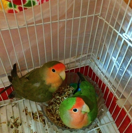 yes here are my rosy-faced lovebirds :)