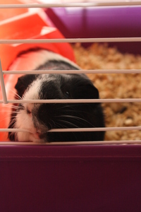 Yes a Guinea Pig, his name is Gee. I named him after Gerard Way x3