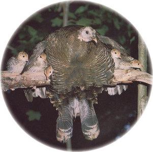 Mamma turkey and her children.
