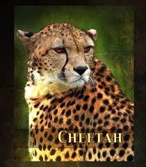 Cheetahs :P