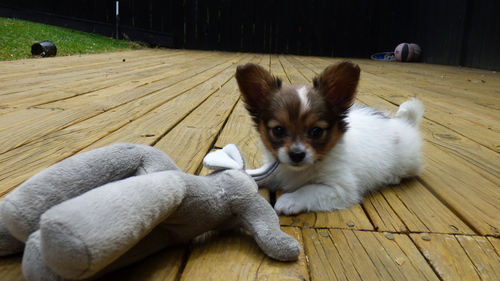 Cats, small dogs (I'm scared of big dogs...) and hedgehogs :) This little girl is my new puppy that I literally got 2 days geleden :) I have fallen very quickly in love with her xDD She is a papillon puppy. 7 weeks old ♥
