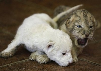 2 extremely cute lion cubs <333