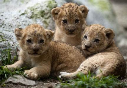 > I don't like Аниме > New York > I have a microphone > Yes > A few years назад > Both but mostly alone > Large > Mostly warm ♥ My Избранное animal - Lions (3 adorable cubs) ♥