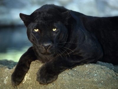 A black leopard