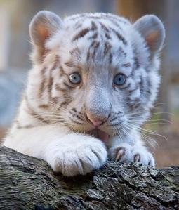 white Harimau