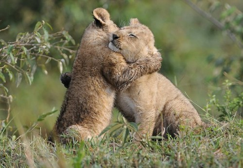 2 lion cubs playing with each other <33333333
