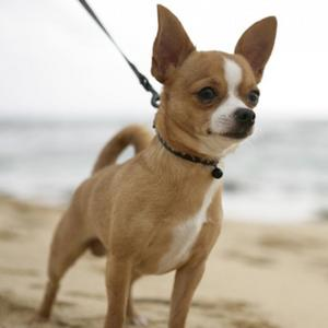 I am not a dog lover. I'm 更多 of a cat lover, but if I ever own a dog, it will definitely be a Chiwawa.