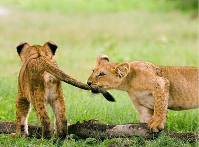 Adorable lion cubs <33333
